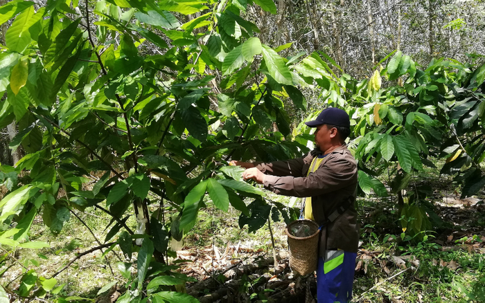 Connecting Cacao Farmers in West Kalimantan to Artisan Chocolate Producers