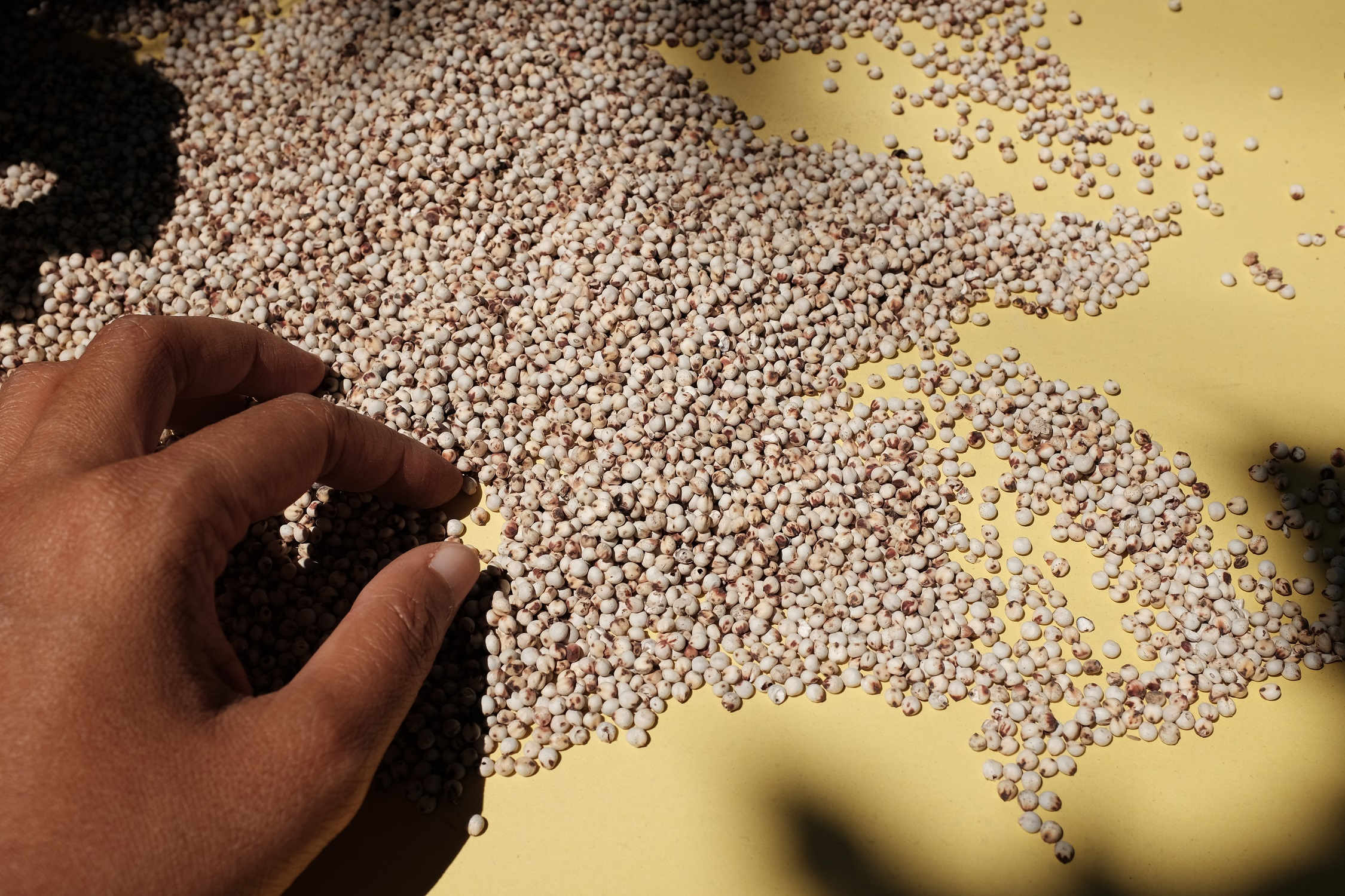 Using Natural Insecticide When Storing Grain Can Increase Farmers Profitability by 87%