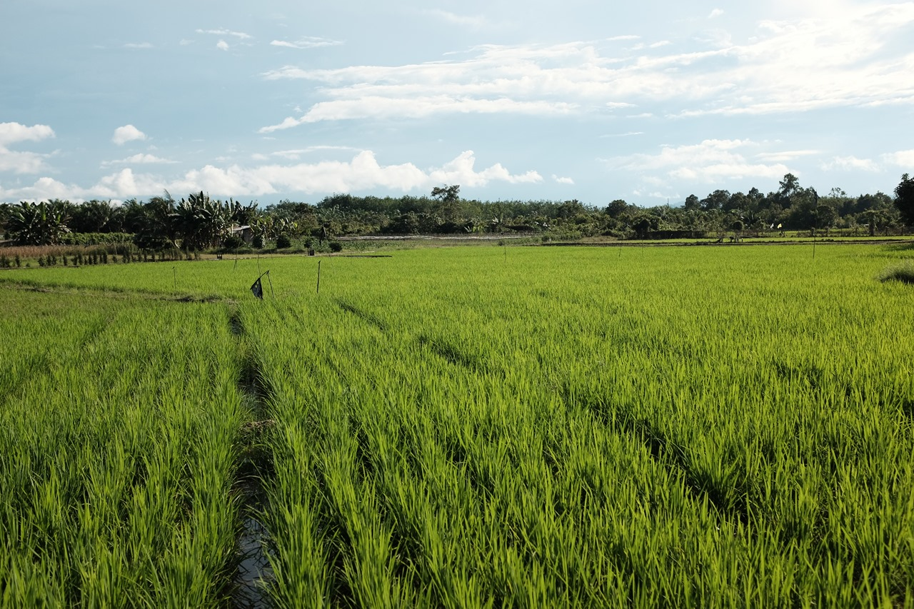 Improving Pest Control: Rats in the Ricefields Phase One
