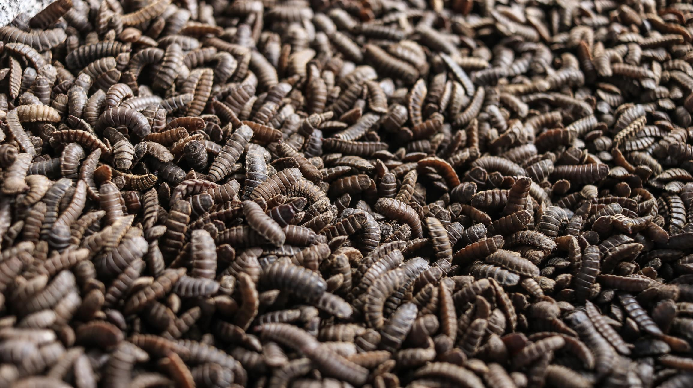 Improving Food Waste Processing with Black Soldier Fly (BSF) Larvae