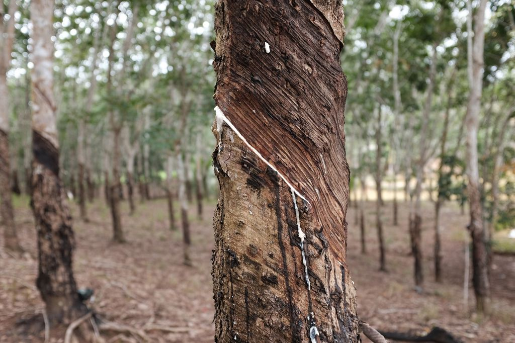 Protecting Harvests: Rubber Tapping Rainguard Phase One