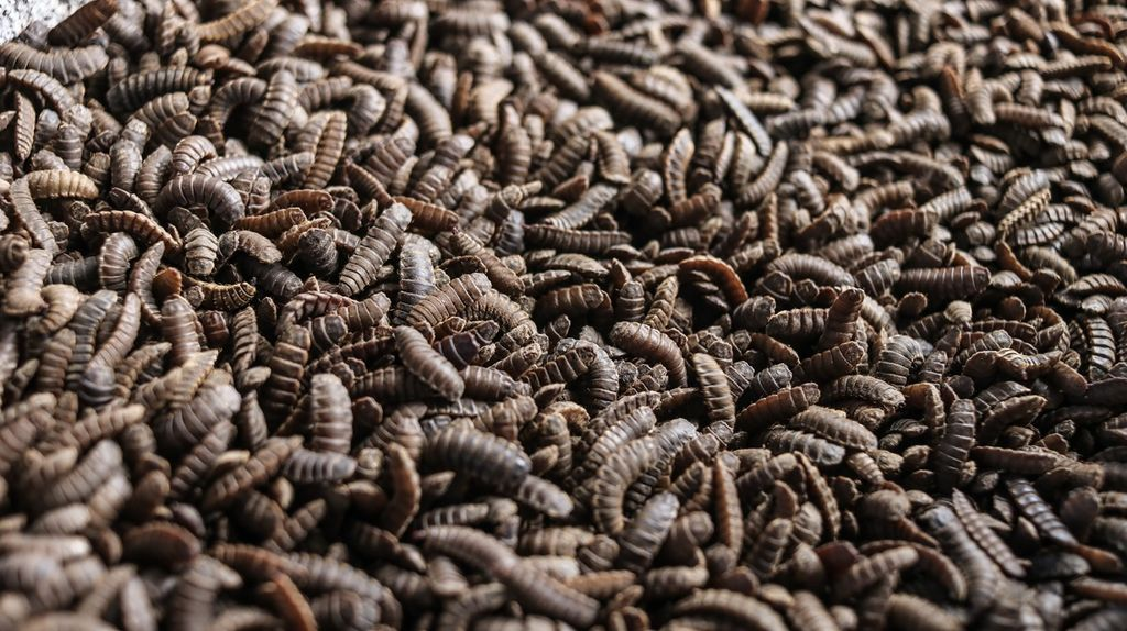 Promoting Sustainable Animal Feed: Black Soldier Fly Larvae Phase One